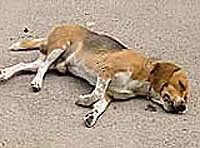 20120116123616-perro-muerto.jpg